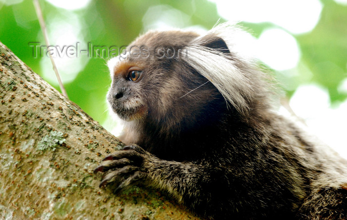 brazil413: Atlantic Forest, RJ, Brazil: Black-tufted Marmoset - close-up - Callithrix penicillata | Mico-estrela - photo by L.Moraes - (c) Travel-Images.com - Stock Photography agency - Image Bank