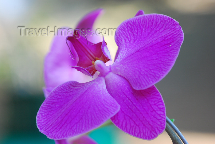brazil417: Cotia, SP, Brazil: Orchid at Roselândia | Orquídea na Roselândia - photo by L.Moraes - (c) Travel-Images.com - Stock Photography agency - Image Bank