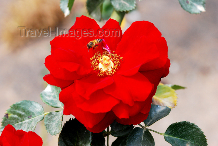 brazil423: Cotia, SP, Brazil: Camellia - family Theaceae / Camélia - Roselândia - microrregião de Itapecerica da Serra - photo by L.Moraes - (c) Travel-Images.com - Stock Photography agency - Image Bank