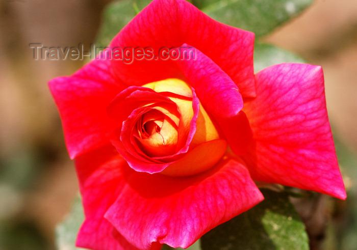 brazil424: Cotia, SP, Brazil: rose at Roselândia - City of Roses | Rosa na Cidade das Rosas - microrregião de Itapecerica da Serra - photo by L.Moraes - (c) Travel-Images.com - Stock Photography agency - Image Bank