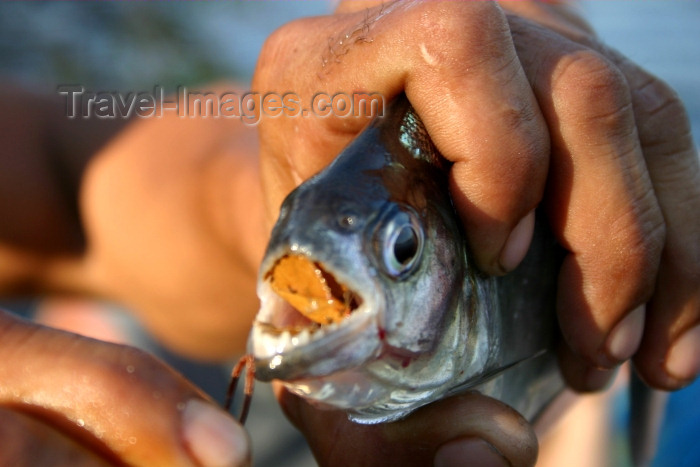 brazil71: Brazil / Brasil - Urubu river / Rio Urubu: pirana / piranha / piraña (photo by N.Cabana) - (c) Travel-Images.com - Stock Photography agency - Image Bank