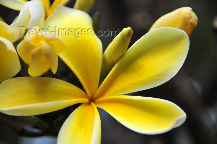 burundi39: Bujumbura, Burundi: yellow Frangipani flower - Plumeria - photo by M.Torres - (c) Travel-Images.com - Stock Photography agency - Image Bank