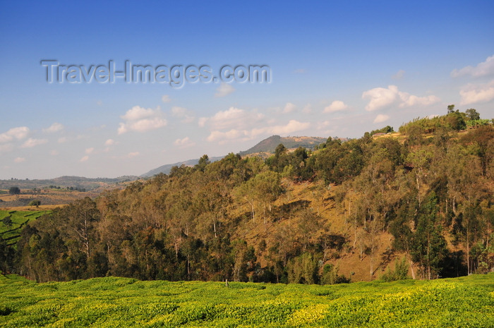 burundi81: Muramvya province, Burundi: hills dominate the landscape, here a typical view with tea fields and eucalyptus forest - photo by M.Torres - (c) Travel-Images.com - Stock Photography agency - Image Bank