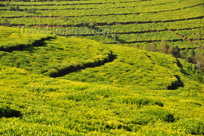 burundi82: Teza, Muramvya province, Burundi: tea cultivation - terraces on the hills - Camellia sinensis plant - photo by M.Torres - (c) Travel-Images.com - Stock Photography agency - Image Bank