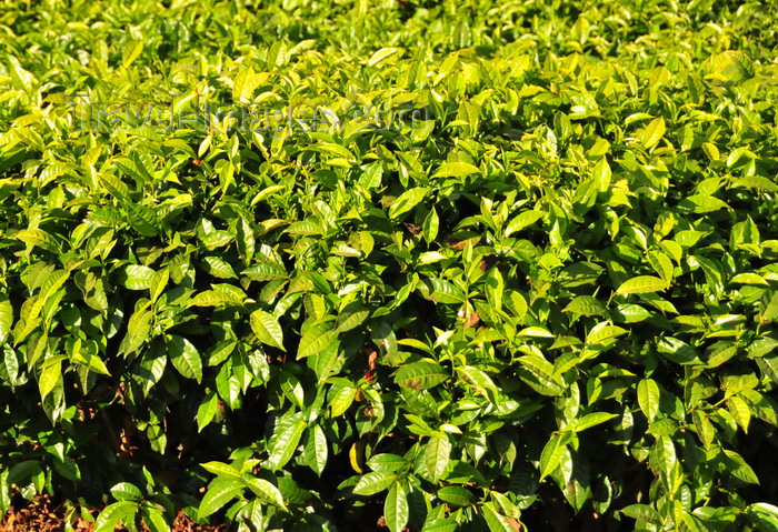 burundi83: Teza, Muramvya province, Burundi: tea leaves close-up - Camellia sinensis plant - most Burundian tea is exported, sold via the Mombasa Stock Market - Burundi produces tea of the 'Black' category, exported mainly to Pakistan, Oman, the UK and Egypt - Usine Theicole Teza - photo by M.Torres - (c) Travel-Images.com - Stock Photography agency - Image Bank