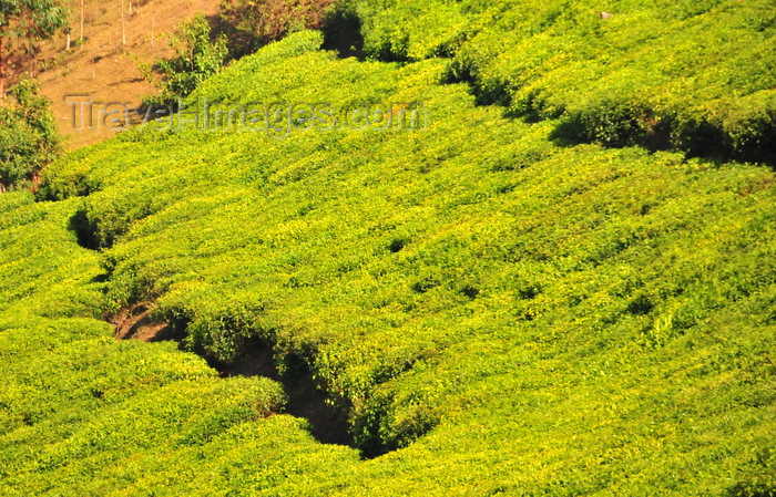 burundi84: Teza, Muramvya province, Burundi: tea plantation - Camellia sinensis plant - coffee and tea account for most of the country's foreign currency earnings - photo by M.Torres - (c) Travel-Images.com - Stock Photography agency - Image Bank