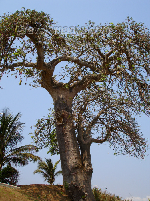 cabinda19: Cabinda - Cabinda - Malongo: baobab tree - / arvore - embondeiro - photo by A.Parissis - (c) Travel-Images.com - Stock Photography agency - Image Bank
