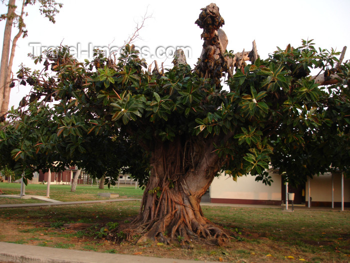cabinda21: Cabinda - Cabinda - Malongo: old tree used as a residence for bats / arvore de borracha com uma colónia de morcegos - photo by A.Parissis - (c) Travel-Images.com - Stock Photography agency - Image Bank