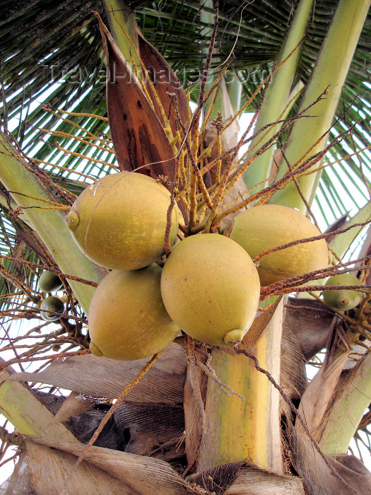 cabinda23: Cabinda - Cabinda - Malongo: coconuts / cocos no coqueiro - photo by A.Parissis - (c) Travel-Images.com - Stock Photography agency - Image Bank