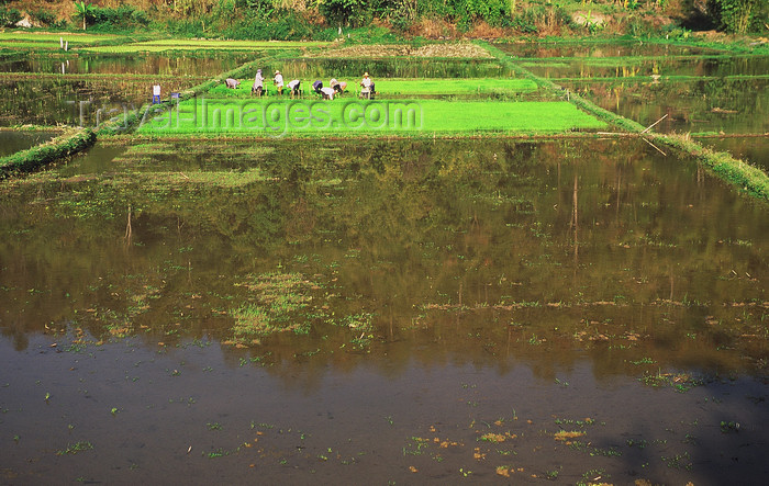 cambodia126: Siem Reap Province, Cambodia: peasants planting rice in a flooded field - agriculture - photo by E.Petitalot - (c) Travel-Images.com - Stock Photography agency - Image Bank