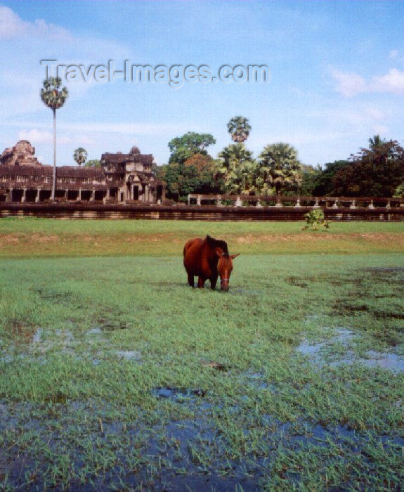 cambodia38: Angkor, Cambodia / Cambodge: Angkor Wat - pool life - horse - photo by Miguel Torres - (c) Travel-Images.com - Stock Photography agency - Image Bank