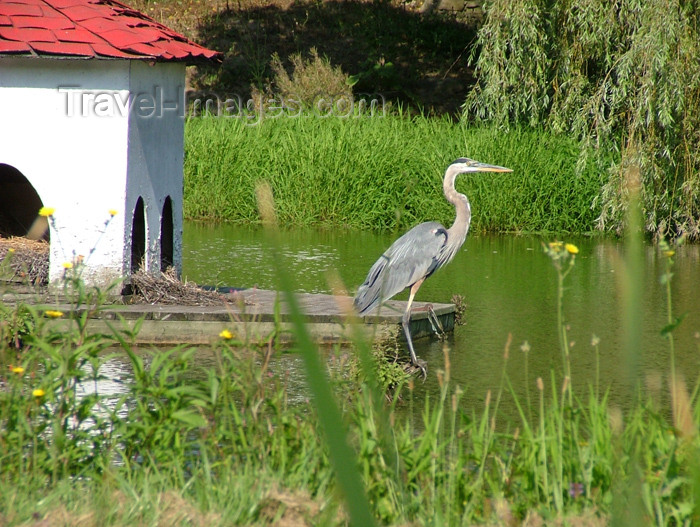 canada112: Vineland - Niagara Region, Ontario, Canada / Kanada: Blue Heron in a pond - photo by R.Grove - (c) Travel-Images.com - Stock Photography agency - Image Bank
