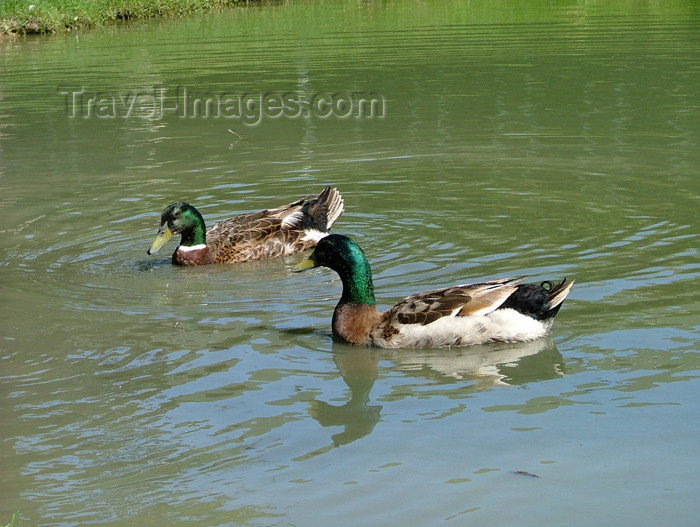 canada114: Lake Erie, Ontario, Canada / Kanada: Mallard ducks - Long beach park - photo by R.Grove - (c) Travel-Images.com - Stock Photography agency - Image Bank