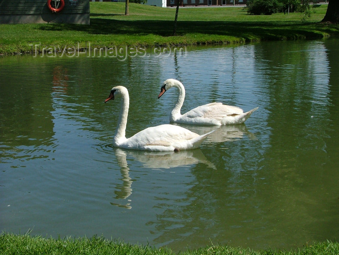 canada115: Canada / Kanada - Fonthill - Niagara Region, Ontario: pair of swans - photo by R.Grove - (c) Travel-Images.com - Stock Photography agency - Image Bank