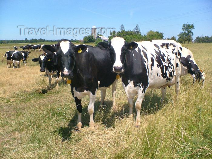 canada135: Canada / Kanada - Pelham/Fenwick, Ontario: cows - dairy farm - grazing animals - photo by R.Grove - (c) Travel-Images.com - Stock Photography agency - Image Bank