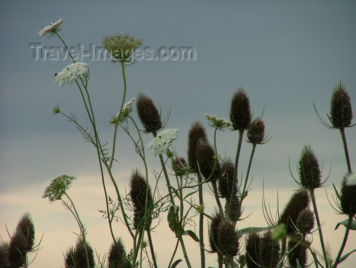 canada139: Canada / Kanada - Lake Erie, Ontario: thistles in the wind - photo by R.Grove - (c) Travel-Images.com - Stock Photography agency - Image Bank