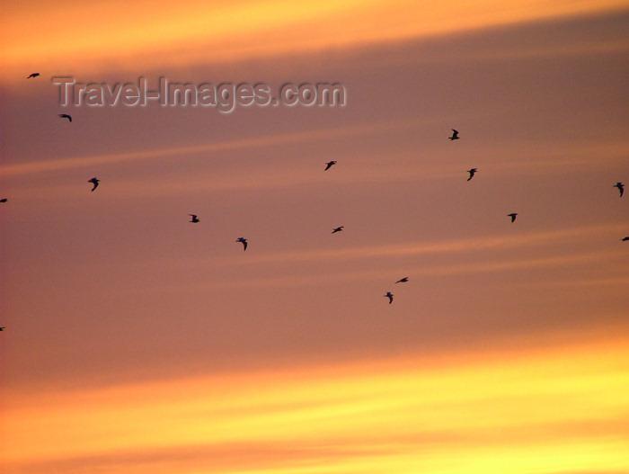 canada143: Canada / Kanada - Beamsville area, Niagara region, Ontario: migrating birds - photo by R.Grove - (c) Travel-Images.com - Stock Photography agency - Image Bank