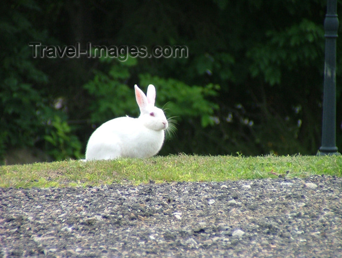 canada150: Vineland, Ontario, Canada / Kanada: white rabbit - photo by R.Grove - (c) Travel-Images.com - Stock Photography agency - Image Bank