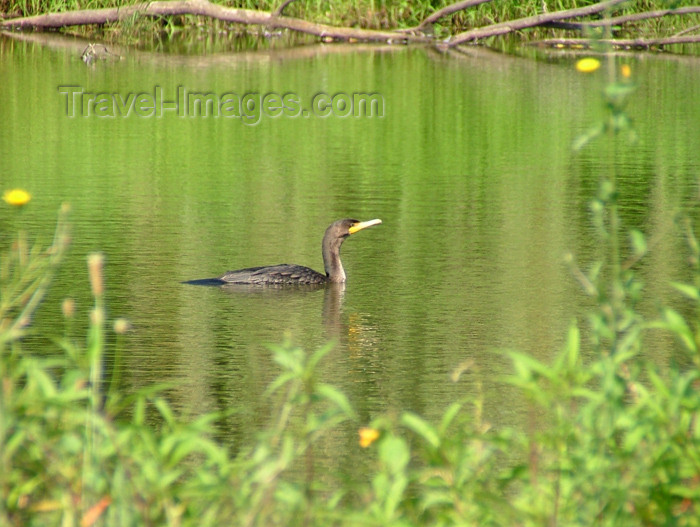 canada167: Vineland - Niagara Region, Ontario, Canada / Kanada: comorant in a pond - Canadian fauna - photo by R.Grove - (c) Travel-Images.com - Stock Photography agency - Image Bank