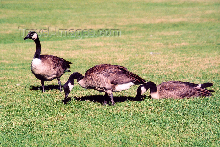 canada184: Canada / Kanada - Calgary (Alberta): Prince Island Park - geese (photo by M.Torres) - (c) Travel-Images.com - Stock Photography agency - Image Bank