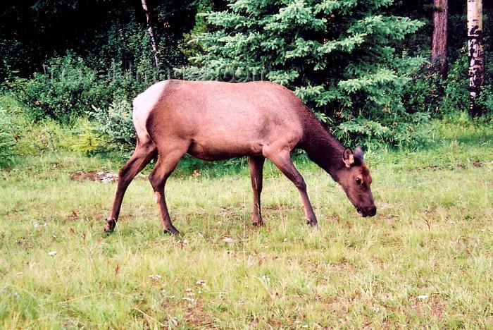 canada202: Canada / Kanada - Jasper National Park (Alberta): caribou grazing - Rangifer tarandus - photo by M.Torres - (c) Travel-Images.com - Stock Photography agency - Image Bank