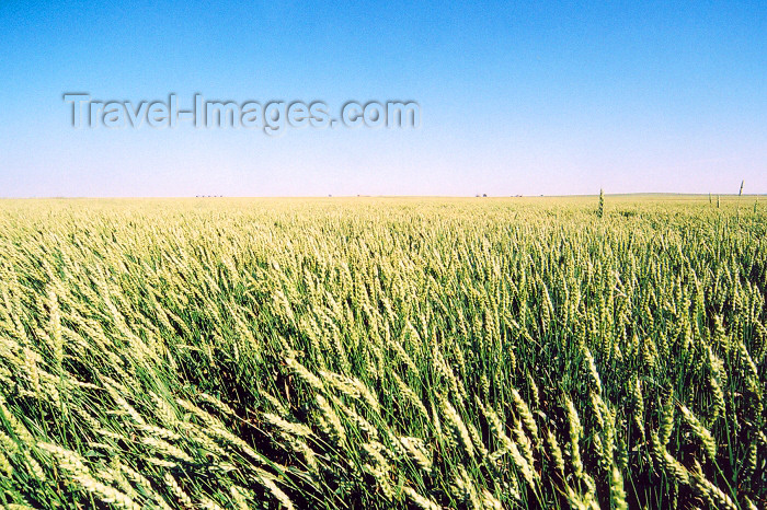canada217: Canada / Kanada - Beiseker, Alberta: wheat field - crop - photo by M.Torres - (c) Travel-Images.com - Stock Photography agency - Image Bank