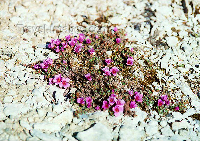 canada27: Canada - flowering vegetation (Nunavut) - photo by G.Frysinger - (c) Travel-Images.com - Stock Photography agency - Image Bank