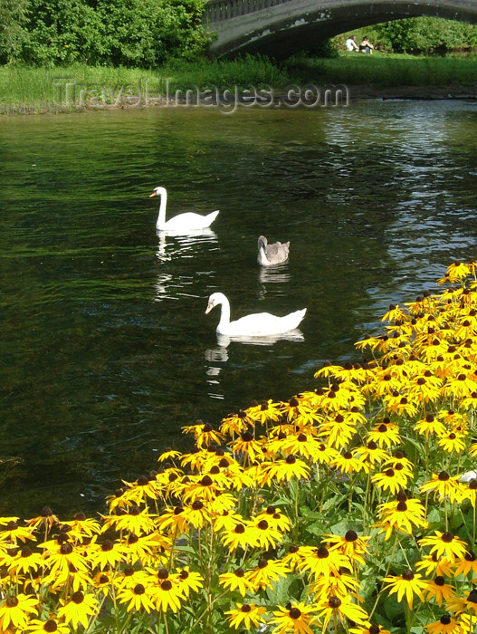canada292: Toronto, Ontario, Canada / Kanada: swans - Centre Island - photo by R.Grove - (c) Travel-Images.com - Stock Photography agency - Image Bank