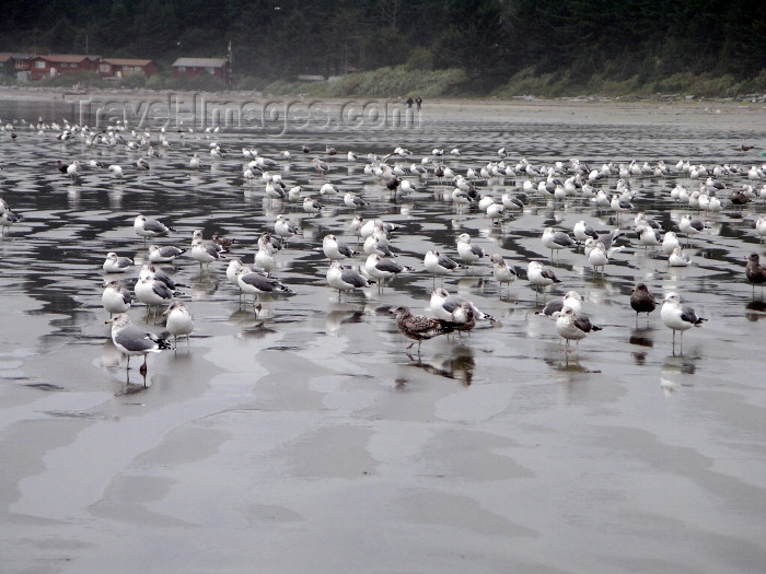 canada382: Canada / Kanada - near Tofino - Vancouver Island: gulls on the beach - photo by R.Wallace - (c) Travel-Images.com - Stock Photography agency - Image Bank