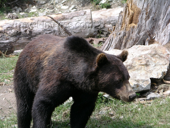 canada383: Canada / Kanada - Vancouver (BC): grizzly bear at Grouse mountain - 'Coola' - photo by Rick Wallace - (c) Travel-Images.com - Stock Photography agency - Image Bank