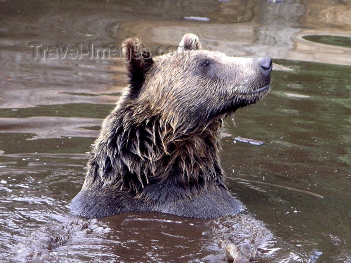 canada384: Canada / Kanada - Vancouver (BC): grizzly bear at Grouse mountain - swimming - photo by Rick Wallace - (c) Travel-Images.com - Stock Photography agency - Image Bank