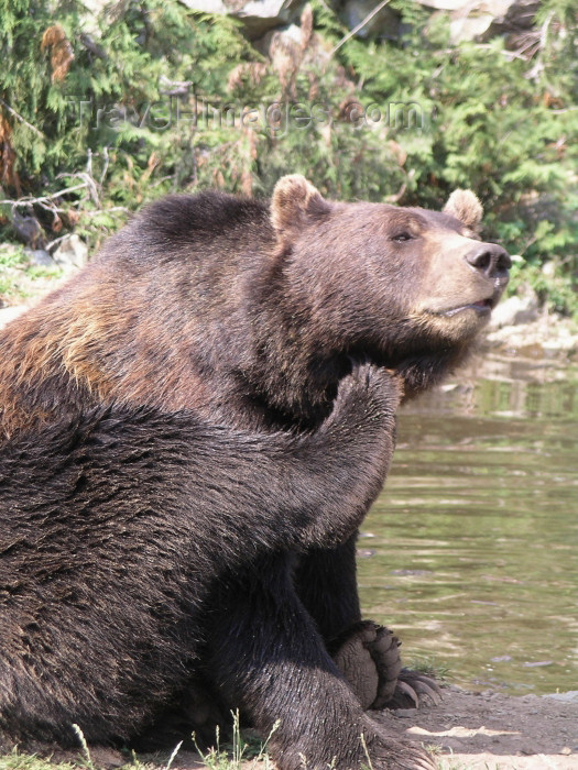 canada385: Canada / Kanada - Vancouver (BC): grizzly bear at Grouse mountain - photo by Rick Wallace - (c) Travel-Images.com - Stock Photography agency - Image Bank