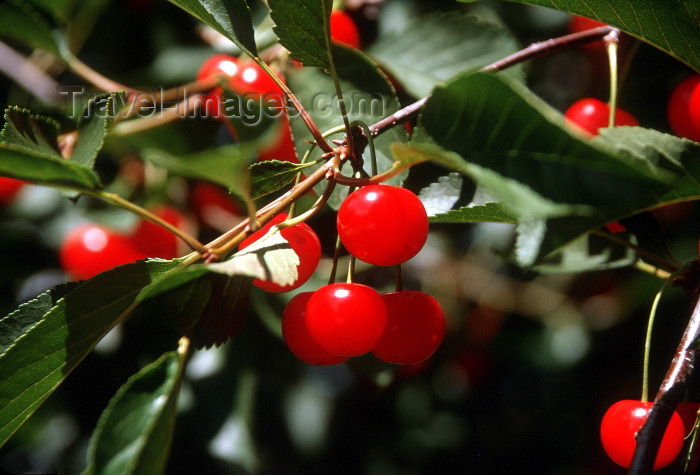 canada394: Canada / Kanada - BC: cherries - photo by G.Friedman - (c) Travel-Images.com - Stock Photography agency - Image Bank
