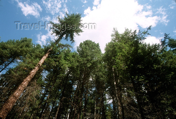 canada398: Canada / Kanada - BC: forest - photo by G.Friedman - (c) Travel-Images.com - Stock Photography agency - Image Bank