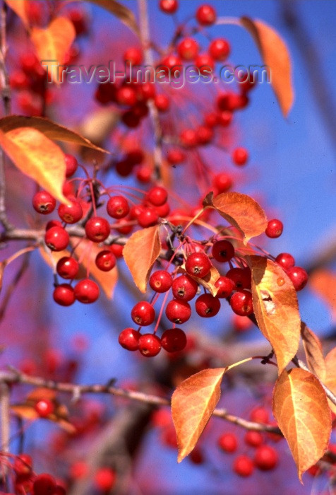 canada41: Canada / Kanada - Whitehorse, Yukon: berries grow on a dry subarctic climate / bagas - photo by F.Rigaud - (c) Travel-Images.com - Stock Photography agency - Image Bank