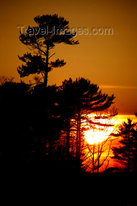 canada476: Canada - Ontario - Lake Superior: pinetrees at sunset - photo by R.Grove - (c) Travel-Images.com - Stock Photography agency - Image Bank