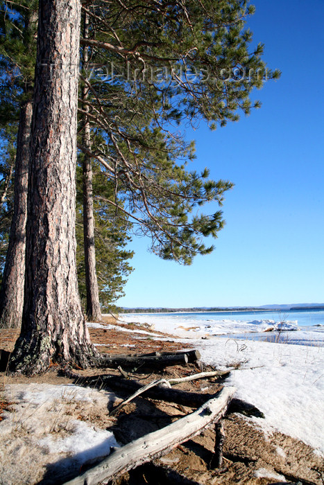 canada481: Canada - Ontario - Lake Superior: shoreline - pinetrees and snow - photo by R.Grove - (c) Travel-Images.com - Stock Photography agency - Image Bank