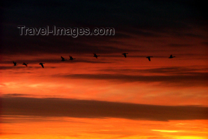 canada487: Canada - Ontario - Southern ontario: line on swans in flight - red sky - photo by R.Grove - (c) Travel-Images.com - Stock Photography agency - Image Bank