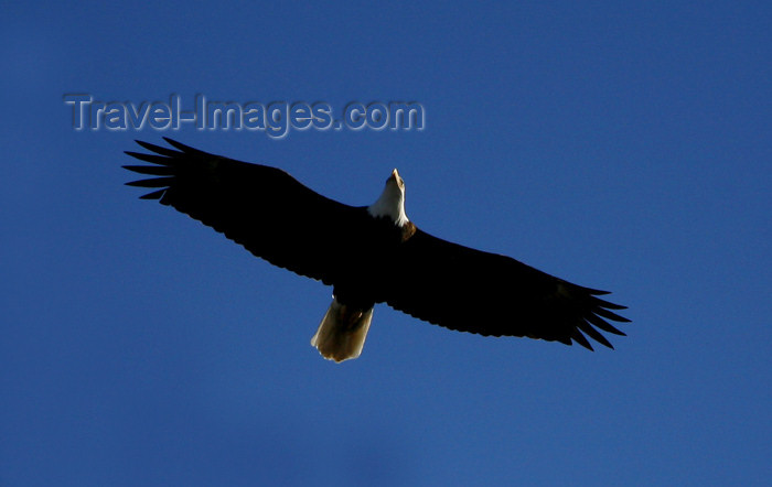 canada490: Canada - Ontario - Bald Eagle in flight - Haliaeetus leucocephalus - also known as the American Eagle, the national bird of the United States - photo by R.Grove - (c) Travel-Images.com - Stock Photography agency - Image Bank