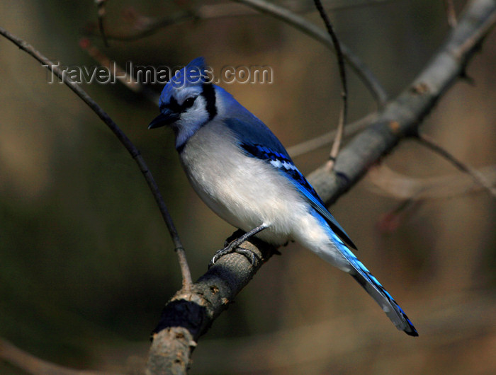 canada492: Canada - Ontario - Blue jay sits - Cyanocitta cristata - photo by R.Grove - (c) Travel-Images.com - Stock Photography agency - Image Bank