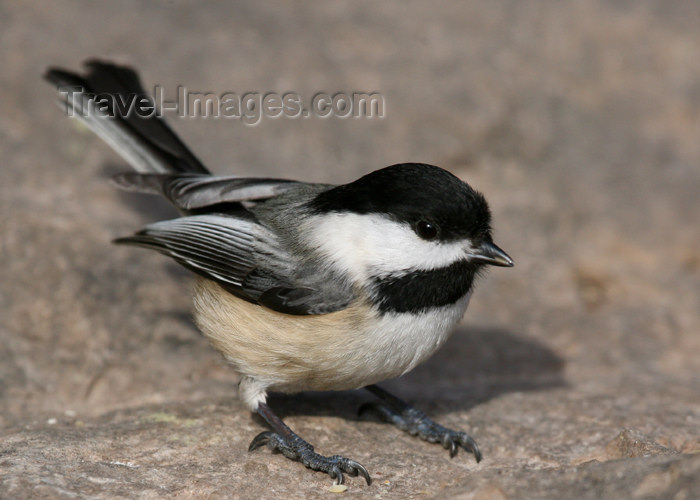 canada494: Canada - Ontario - Black-capped Chickadee, Parus atricapillus or Poecile atricapillus - photo by R.Grove - (c) Travel-Images.com - Stock Photography agency - Image Bank