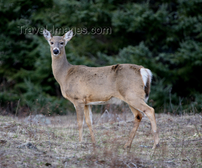 canada495: Canada - Ontario - White-tailed deer on the edge of the forest - Odocoileus virginianus - photo by R.Grove - (c) Travel-Images.com - Stock Photography agency - Image Bank