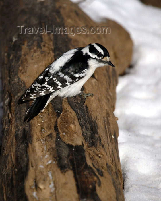 canada496: Canada - Ontario - female Downy Woodpecker, Picoides pubescens - photo by R.Grove - (c) Travel-Images.com - Stock Photography agency - Image Bank
