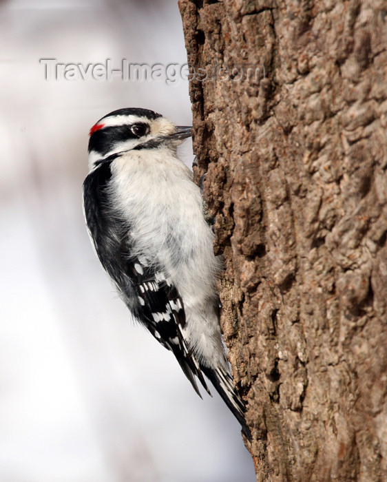 canada498: Canada - Ontario - male Downy Woodpecker, Picoides pubescens - photo by R.Grove - (c) Travel-Images.com - Stock Photography agency - Image Bank