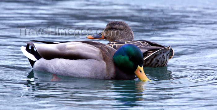 canada501: Canada - Ontario - pair of mallards - Anas platyrhynchos - photo by R.Grove - (c) Travel-Images.com - Stock Photography agency - Image Bank