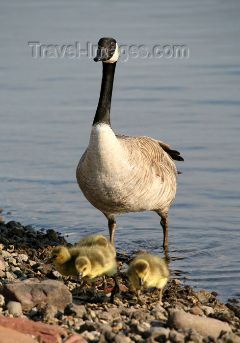 canada502: Canada - Ontario - goose with chicks - photo by R.Grove - (c) Travel-Images.com - Stock Photography agency - Image Bank