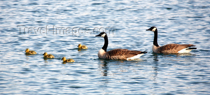 canada503: Canada - Ontario - geese family in the water - photo by R.Grove - (c) Travel-Images.com - Stock Photography agency - Image Bank