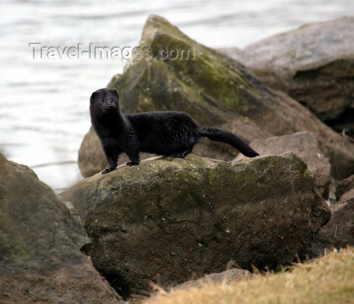 canada504: Canada - Ontario - American Mink on a rock - Mustela vison - photo by R.Grove - (c) Travel-Images.com - Stock Photography agency - Image Bank