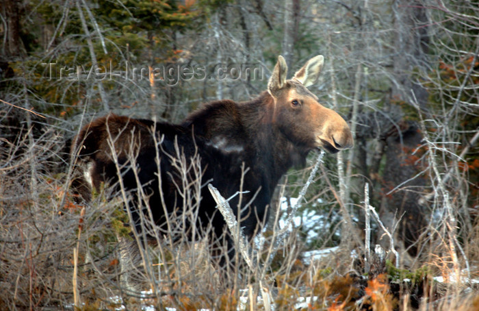 canada505: Canada - Ontario - Moose in spring - Alces alces - photo by R.Grove - (c) Travel-Images.com - Stock Photography agency - Image Bank