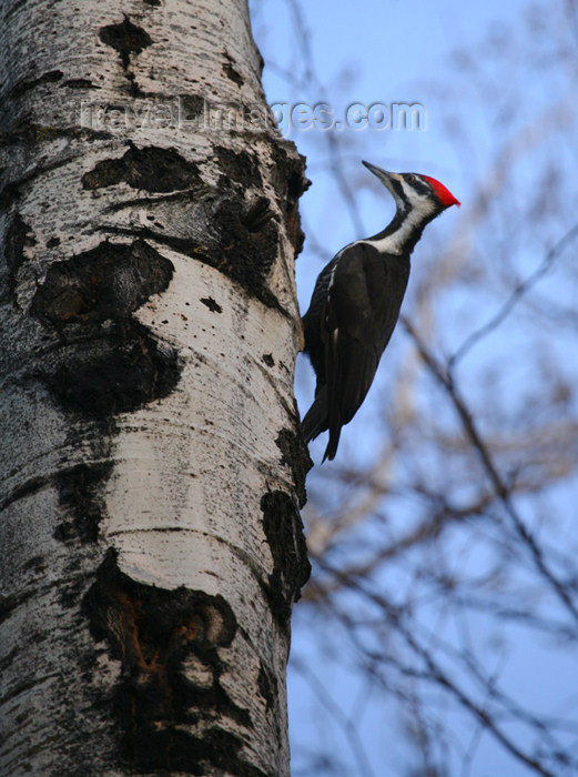 canada506: Canada - Ontario - Pileated Woodpecker on a tree - Log Cock - Dryocopus pileatus - photo by R.Grove - (c) Travel-Images.com - Stock Photography agency - Image Bank